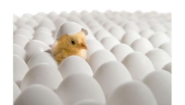 egg-incubation1055-620x354